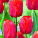 Let's Talk Bourbon and Tulips…